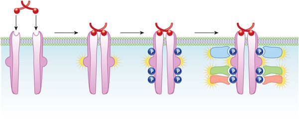 A schematic shows how the binding of a ligand to receptor tyrosine kinases (RTKs) results in the activation of the RTKs. The RTKs are in a horizontal plasma membrane. Four different stages are shown: the RTKs before ligand binding, the dimerization of the RTKs after ligand binding, the phosphorylation of the RTKs, and the binding of various cytoplasmic proteins to the RTKs.