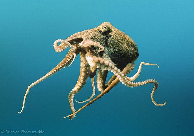 Octopus photo