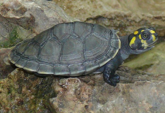 Terecaya O Tortuga De Rio De Pintas Amarillas Turtle Baby