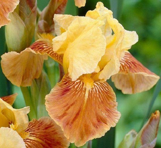 Ирисы (33 фото): цветы ирисы сорта с фото и названиями ...