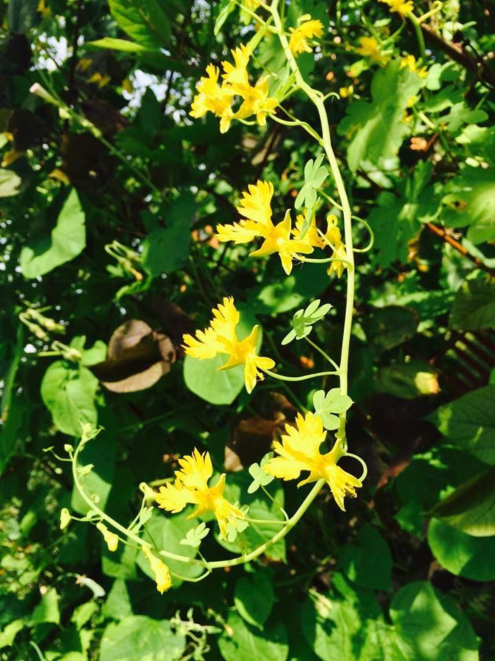 Fjärilskrasse - Klätterväxt på balkongen? Odla i P1