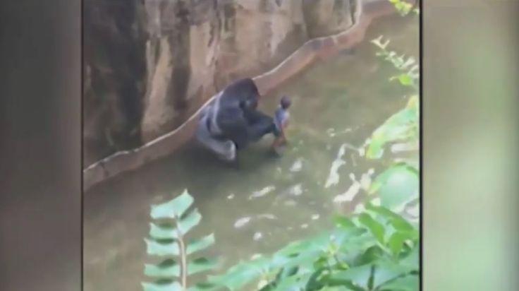 Niño cae a fosa de gorila y ocurre trágico desenlace