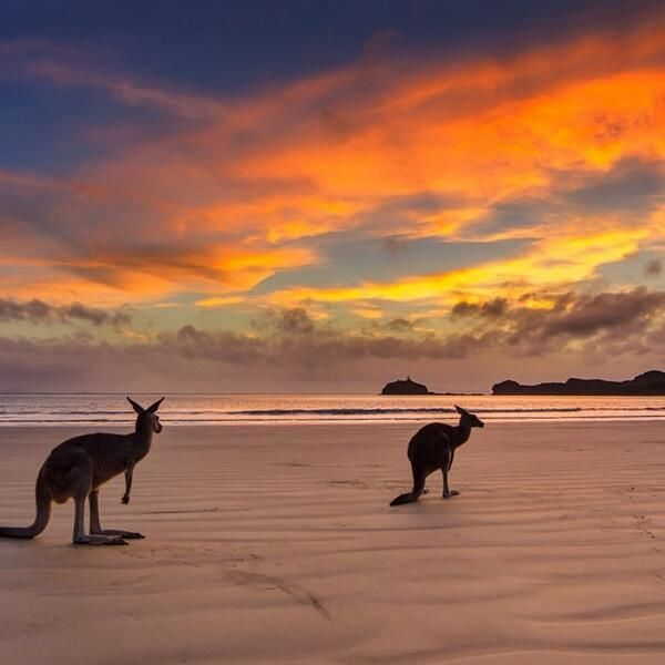 Mackay, Australia Beach Sunrise With Kangaroos