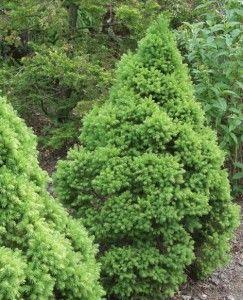 Picea glauca Conica, kartiovalkokuusi
