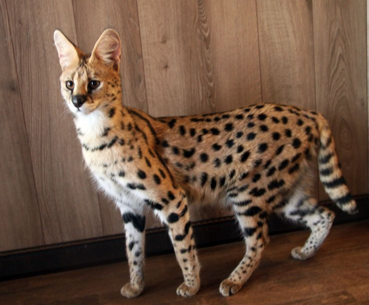 Bengal cat vs abyssinian cat