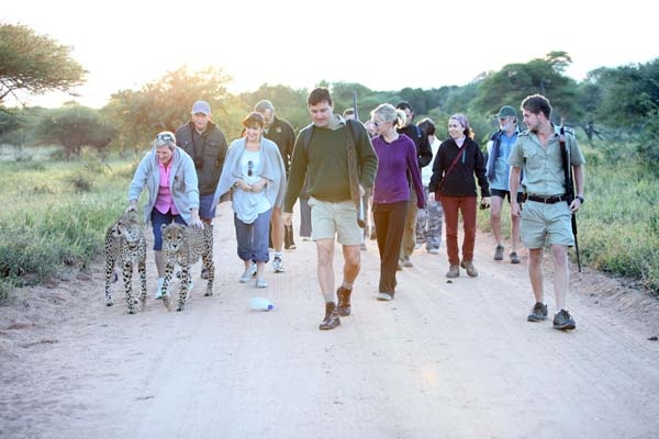 A group of tourists walking with cheetah at Tshukudu Games Reserve in Mpumalanga.