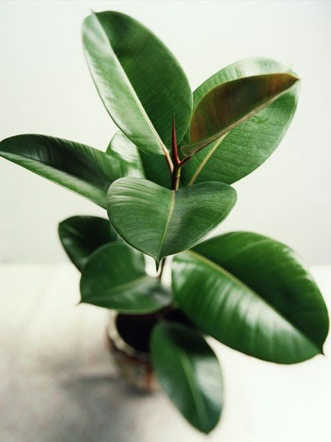 Rubber plant - great accent plant, but subject to 'gremlins' so watch the leaves undersides too.  Don't over water, and never leave dried out or diseased leave in pot.  Light is great - burning sun not so good!