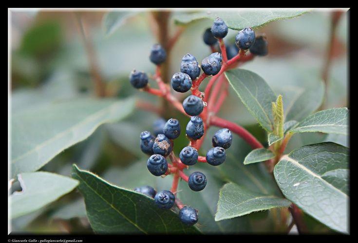 Autumn berries by Giancarlo Gallo
