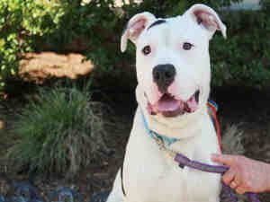 Talking Dogs at For Love of a Dog: Huckleberry: American Bulldog Pitbull Adoptable Dog  http://www.hsmo.org/adopt/all-dogs.html