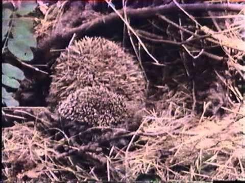 Magyarország állatvilága 1. A sün