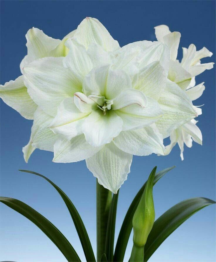 Pin By Mona Moni On Zambaket Bulb Flowers Amaryllis Flowers Amaryllis