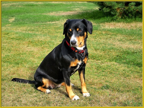 Entlebucher Mountain Dog  looks like our Lilly :)
