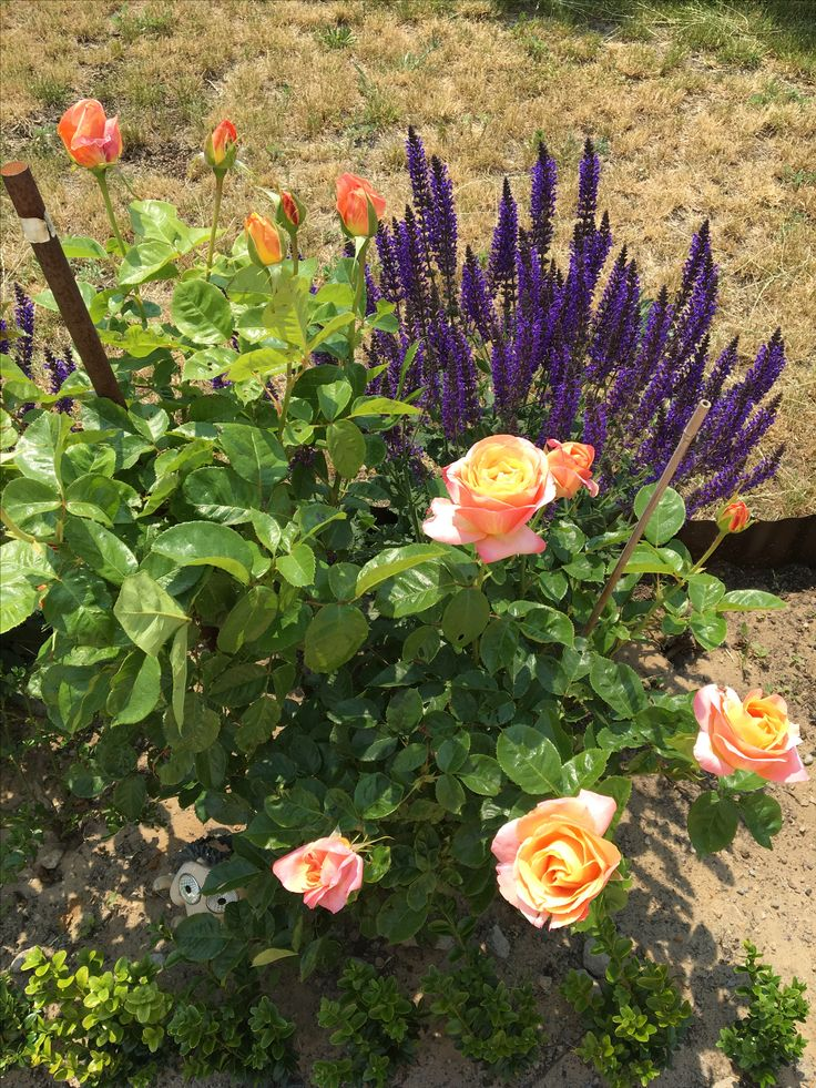My Edelrose Isabelle Autissier together with Salvia Mainacht. 😇☺️🌹