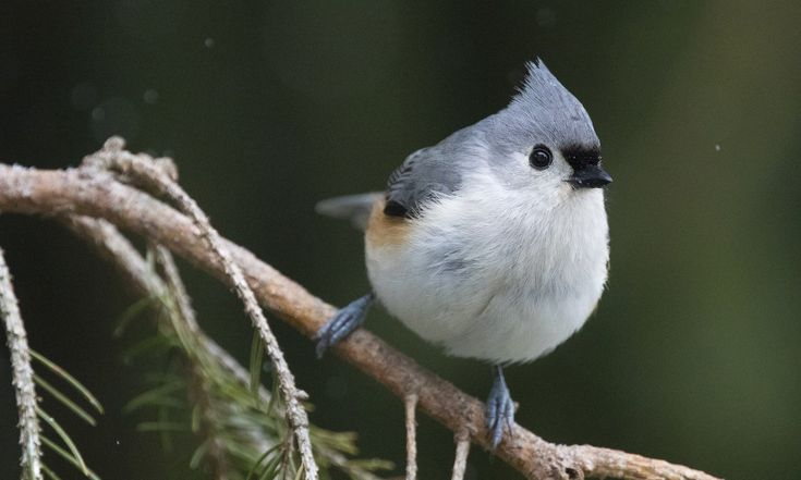 Tufted Titmouse - Introduction | Birds of North America Online