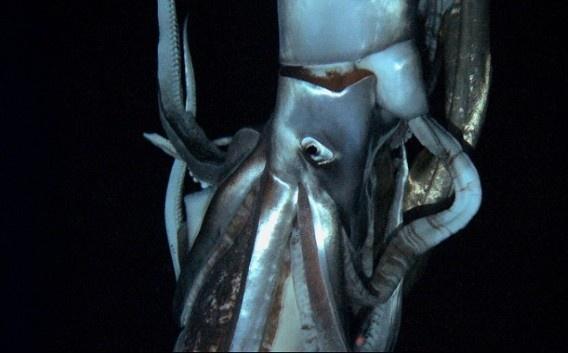 Reuzeninktvis voor het eerst gefilmd in zijn natuurlijke o... - De Standaard