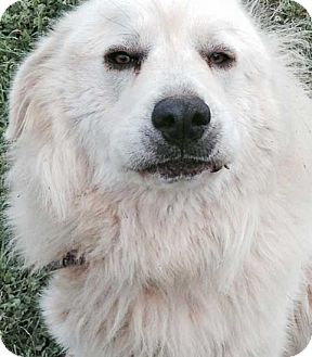6/14/14 Beacon, NY - Great Pyrenees. Meet Laddie - new!, a dog for adoption. http://www.adoptapet.com/pet/10965821-beacon-new-york-great-pyrenees