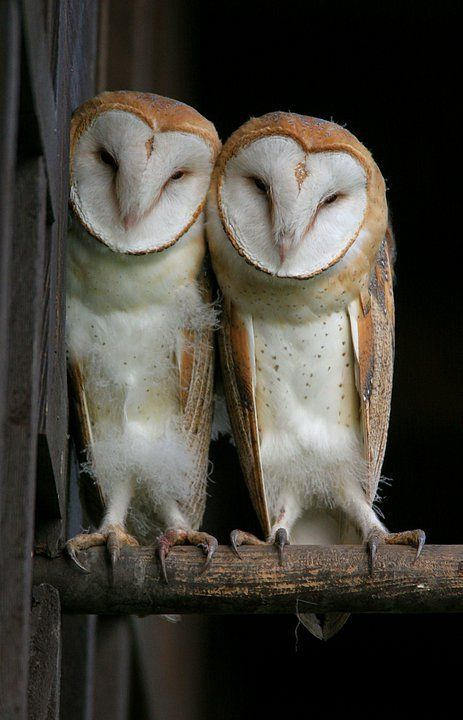 My favorite... Because when barn owls choose each other as mates, they stick together until death. That's terribly romantic.