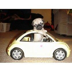 a Pug driving a VW beetle... <3