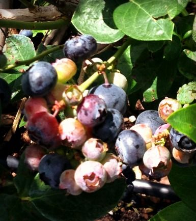 Florida isn't just oranges anymore.  Blueberry season in FL April & May.