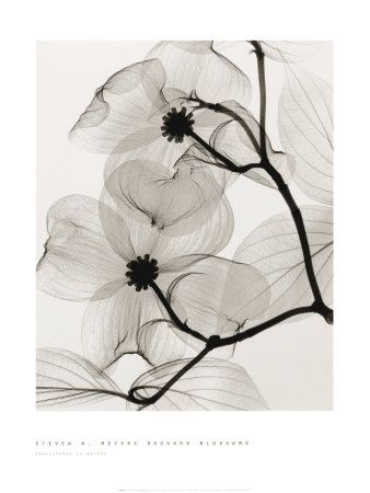 Dogwood flower in xray type black and white photography.