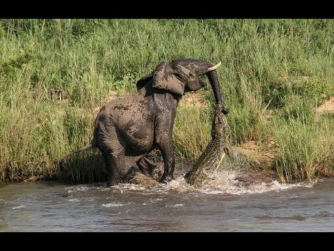Crocodile Attacks Elephant in the Water - Wild Animals