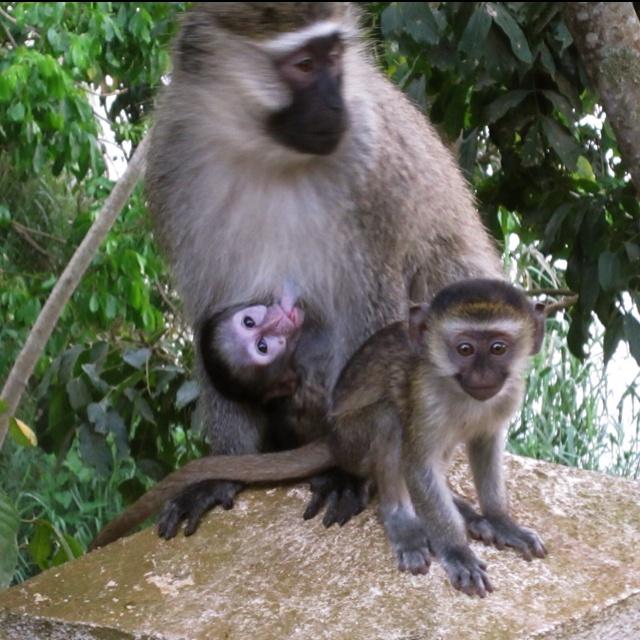 Vervet family in Uganda!!