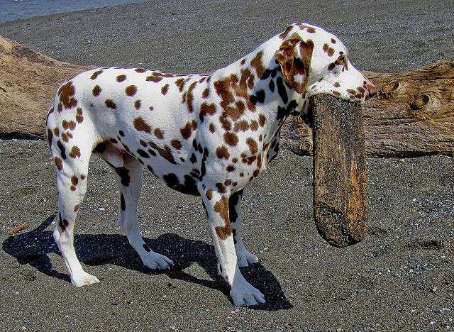 images of dalmatians signs | Cromwell, the Chocolate Spot Dalmatian--Img2201LR | Flickr - Photo ...