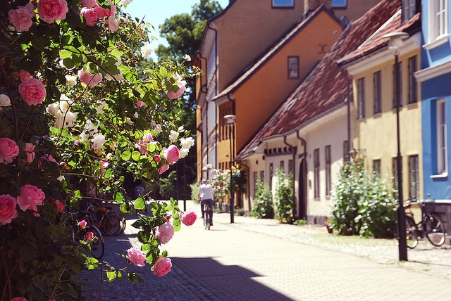Gamla Väster Climbing roses in Malmö