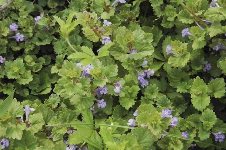 Zádušník brečtanovitý (Glechoma hederacea) - trošku je horký a príjemne aromatický. Jedia sa listy aj kvety. Dá sa jesť surový, ale kedysi sa používal skôr ako korenie spolu s rascou. So zemiakmi a v polievke chutí veľmi dobre. Používal sa aj namiesto petržlenu. Má pekné lístky v tvare srdiečka, podľa toho si ho môžeme zapamätať.