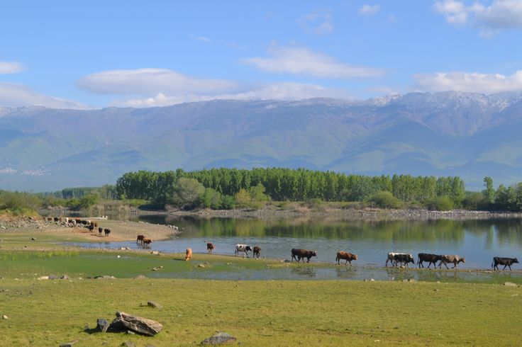 Cattle grazing accross the Lake