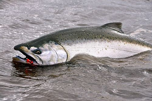 25 best chinook salmon images on pinterest fishing for Chinook salmon fishing