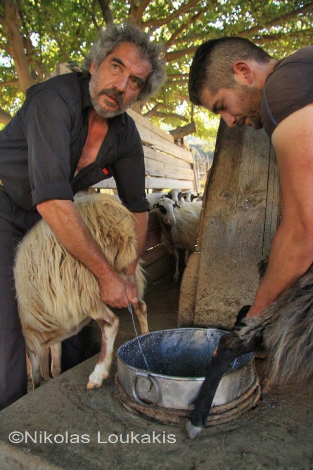 Καθώς αρμέγουν τα πρόβατα - Cretan cheese photo story