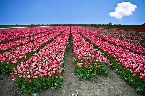 Pink!: Pink Pink Pink, Tulip Fields, Pink Flowers, Flowers Farms, Flowers Fields, Fields Of Flowers, Happy Colors, Green Flowers, Pink Tulip