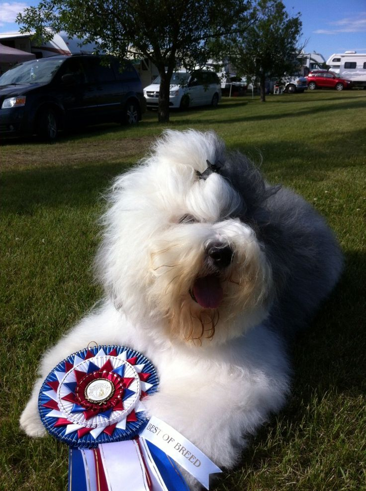 Valubal Old English Sheepdog Winning 2013 Canadian National Specialty