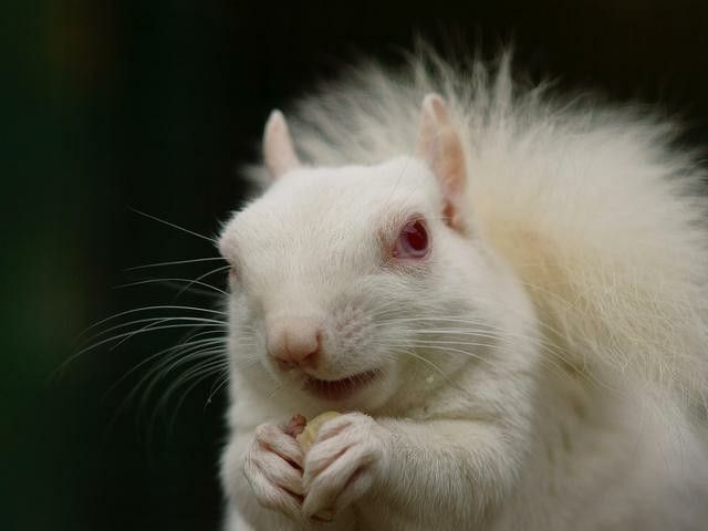 You might think albino squirrels are a rare site, and in most place, you'd be right. But not in Olney, Illinois. The town is famous for its population of white squirrels, whose line can be traced back to a male albino and female albino who started the whole thing in the early 20th century.