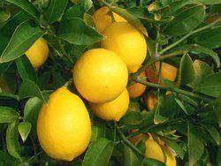 """Эфирное масло лимона  Стимулирует работу сердца, усиливает кровоток, активизирует внутреннее состояние человека. Увеличивает количество красных кровяных телец и противодействует анемии и головным болям. Дает ясность мысли. Устраняет ломкость ногтей и придает блеск волосам. Хорошо размягчает рубцовую ткань.  Объем 10 мл. Cтоимость 85 руб. Возможна оплата через """"Доверительный платеж"""".  #эфирноемаслолимона #маслолимона #ароматлимона #ароматерапия"""