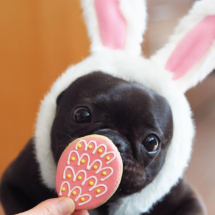 Happy Easter!! Yay!! This is the moment I've been waiting for!!  ハッピーイースター‼︎ やったー‼︎ 僕、このおやつもらえるのをずっと待ってたんだよ〜‼︎  #frenchie #frenchbulldog #instadog #frenchiesofinstagram #instafrenchie #dog #instacute #puppy #cute #instapuppy #buhi #puppylove #batpig #puppiesofinstagram #frenchielife #ilovemydog #frenchieoftheday #fab_frenchies #frenchielover #frenchiegram #frenchbulldoglife #仙台ブヒ #フレブル #フレンチブルドッグ