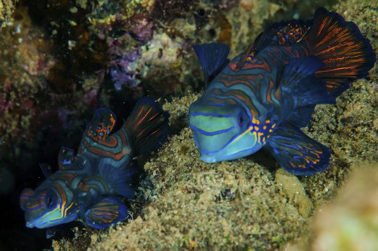 Questo coloratissimo pesce appartiene alla specie Synchiropus splendidus,  conosciuto comunemente come Pesce mandarino. Il nome comune del Synchiropus splendidus deriva proprio dalla sua colorazione molto vivace, che evoca le vesti di un imperiale cinese (mandarino).E' un pesce d'acqua salata, che abita le lagune costiere e le barriere coralline del Pacifico orientale.