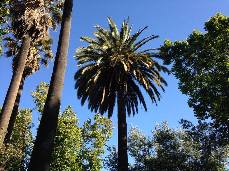 Quillota, trees