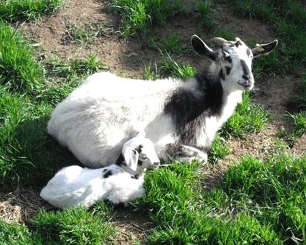 kiko goat, kiko goats, about kiko goat, kiko goat breed, kiko goat breeders, kiko goat behavior, kiko goat color, kiko goat coat color, kiko goat color varieties, kiko goat characteristics, kiko goat facts, kiko goat farm, kiko goat farming, kiko goat for sale, kiko goat for meat, kiko goat for meat, kiko goat history, kiko goat info, kiko goat images, kiko goat meat, kiko goat milk, kiko goat meat production, raising kiko goat for meat, kiko goat origin, kiko goat photos, kiko goat…