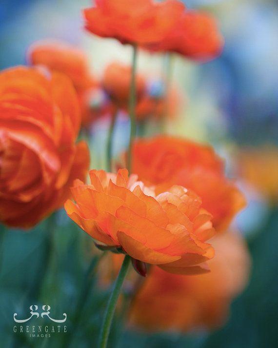 "Discounted 8x10"" ranunculus flower photo print - orange ranunculus botanical art print colorful"