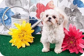 Elizabethtown, PA - Lhasa Apso. Meet Dixie Varner, a dog for adoption. http://www.adoptapet.com/pet/17536576-elizabethtown-pennsylvania-lhasa-apso