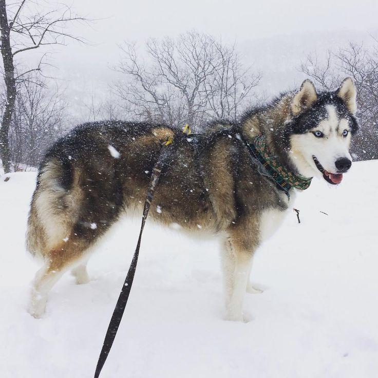 Mejores 116 imágenes de Husky Dog Pictures en Pinterest | Cachorros ...