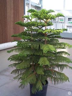 Norfolk Island trees is a favorite of many indoor plant enthusiasts. Here's how to sustain one in your home.