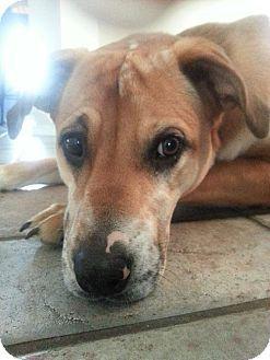McKinney, TX - Catahoula Leopard Dog/Labrador Retriever Mix. Meet ...
