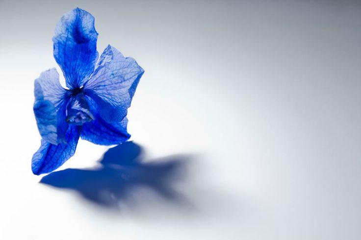 Gedroogde blauwe orchidee