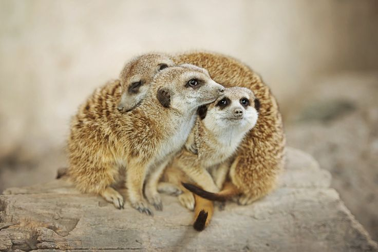 "magicalnaturetour: ""Meerkat Pile by Amber Brielle / 500px """