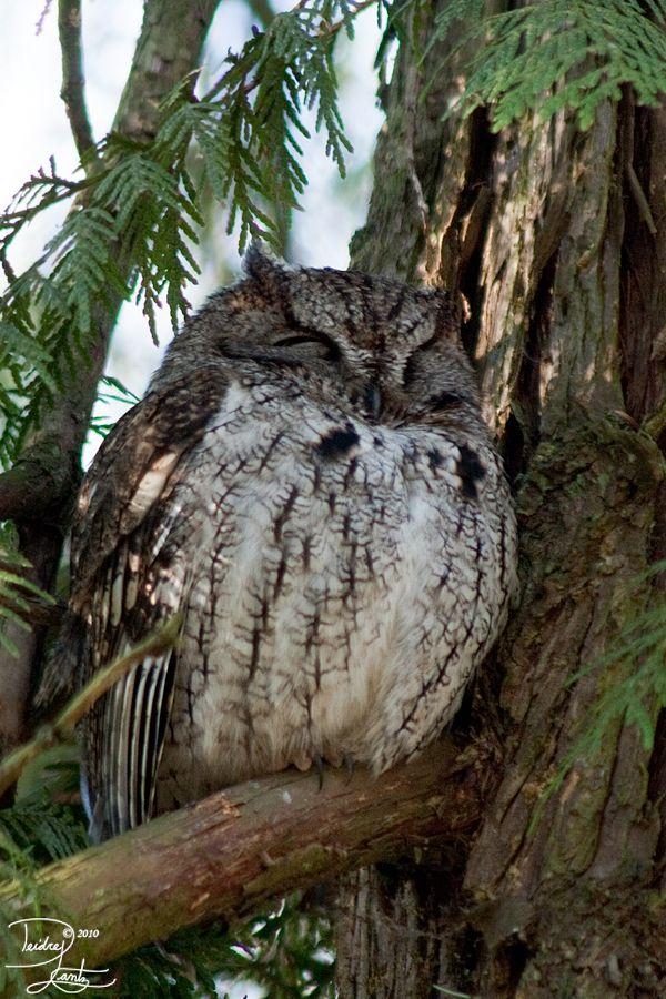 Western screech owl | CORUJAS | Pinterest