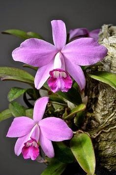 Perfil da Planta - Orquídeas, Histórias e Plantas Notáveis: As Espécies de Cattleyas Brasileiras Confusas ou Parecidas - Parte II