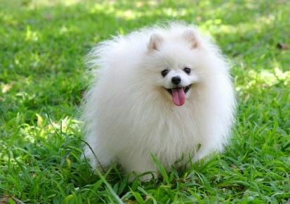 Pomerian dog